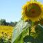 CORONAVIRUS  – Dossier PAC et aides sociales pour les agriculteurs